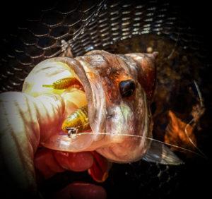 Pêche de la perche en Texas Rig